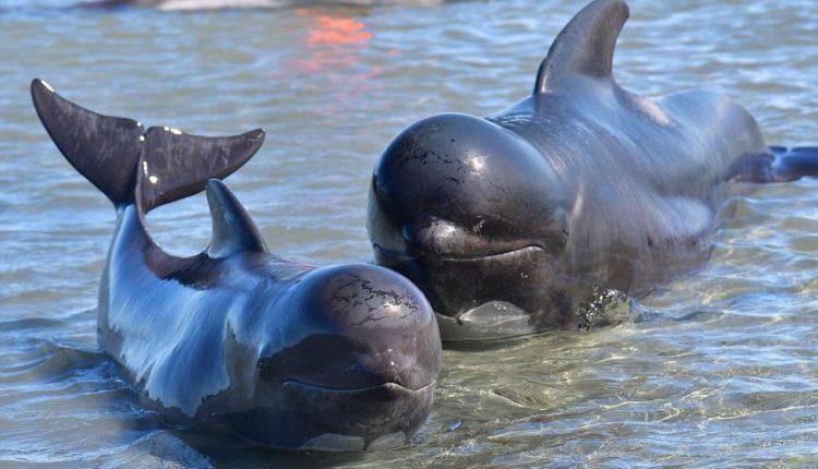 Naujojoje Zelandijoje į krantą iššoko dar 240 banginių