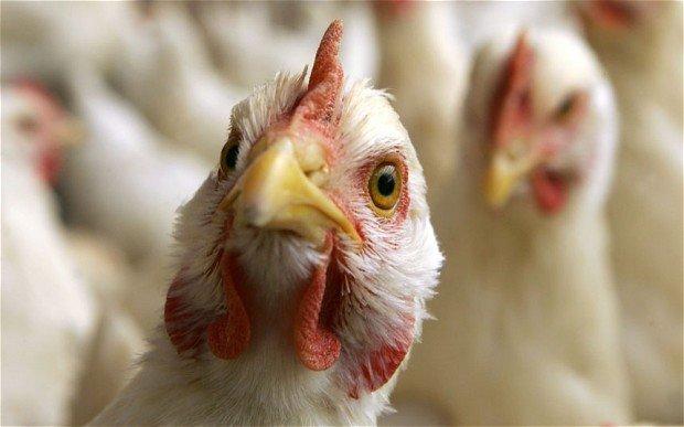 Dėl paukščių gripo įvesti apribojimai paukštienos įvežimui iš Ukrainos