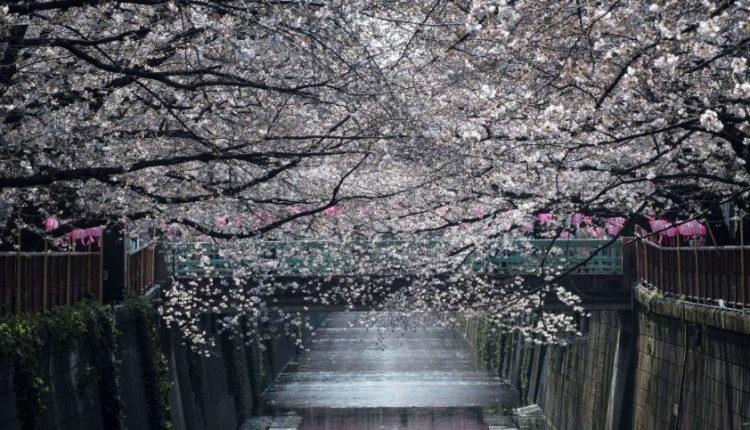 Tokijuje oficialiai prasidėjo pavasaris: pražydo sakuros