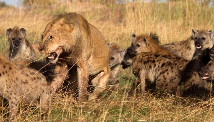 Draugas išgelbėjo liūtą nuo dvidešimties hienų antpuolio. Pažiūrėkite, kaip liūtas jam atsidėkojo
